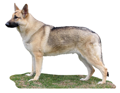 German Shepherd Gretel