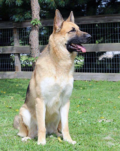 German Shepherd Max